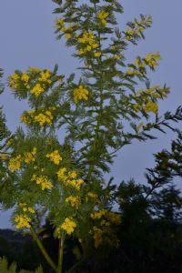 Acacia Mimosa ...3 years old....
