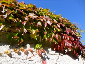Virginia creeper ? taken 5th sept.