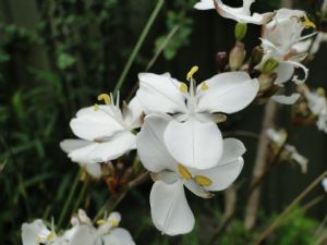 Libertia Grandifolia
