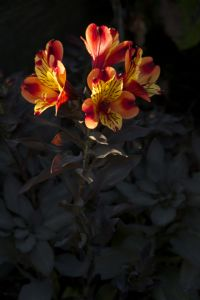 Alstroemeria Indian summer.