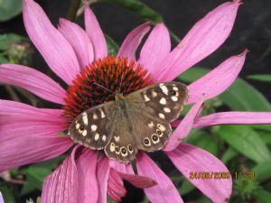 bee/cornflower