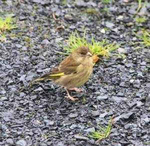 Greenfinch 27/12