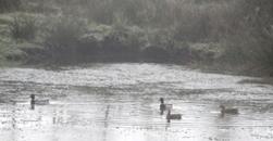 Ducks Return