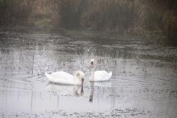 Swans visit 24/01/10