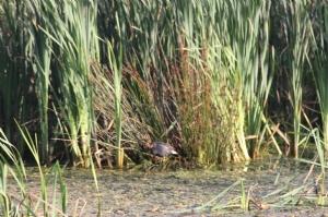 Moor hen in the reeds