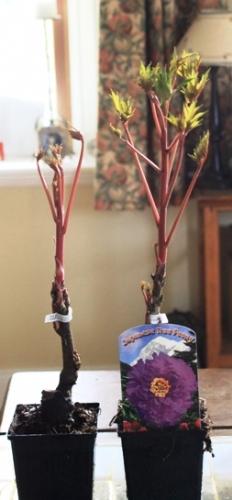 Japanese Tree Peonys