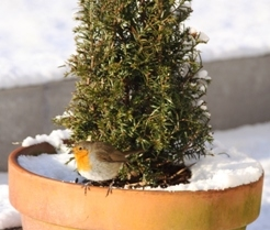 Robin Red Breast in the Snow