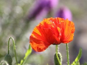 Flamboyant Poppy