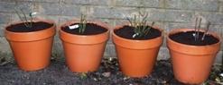 David Austin Roses Planted