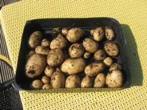 Good soil after potatoes