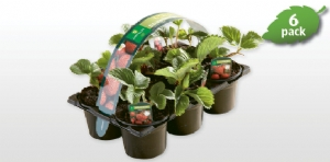 Strawberry Plants in Aldi