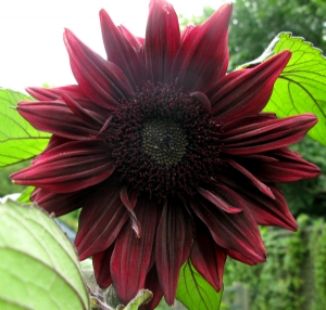 Sunflower 'Black Magic'