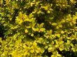 Golden escallonia.
