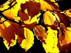 Mount Usher - foliage in sunshine