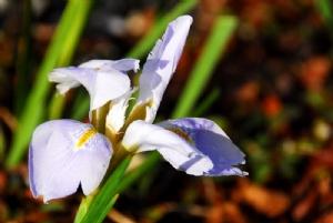 Iris unguicularis 'Walter Butt'