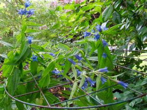 The Willow Gentian.