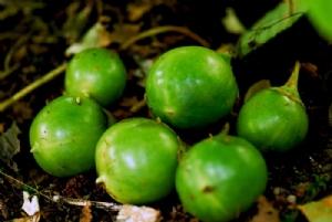 Mandragora officinalis fruit