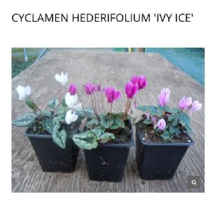 Cyclamen hedrifolia 'Ivy Ice'