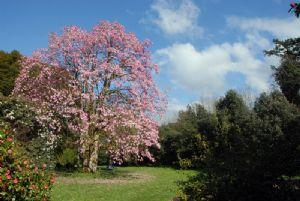 Magnolias sprengeri var. diva.