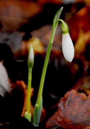 Galanthus elwesii 'Peter Gatehouse'