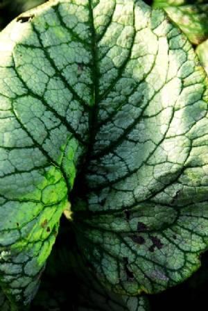 Brunnera 'Jack Frost' leaf
