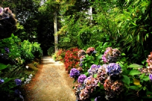 Hydrangea walk at Mount Congreve