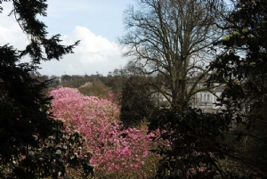 A stretch of Magnolia campbellii at Mount Congreve