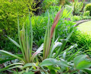 Beschorneria yuccoides.