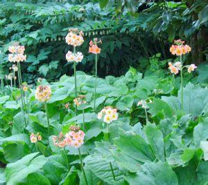 Primula japonica Harlow Carr hybrids.