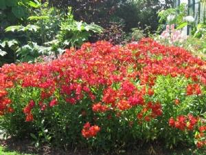 Alstromerias from Rachel's garden