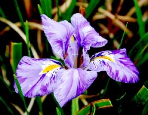 Iris unguicularis 'Kilbroney Marble'