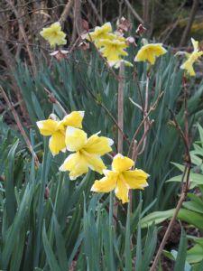 Narcissus 'Casata'.