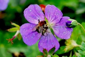Geranium 'Jolly Bee'