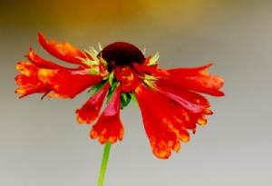 Helenium 'Moorheim Beauty'