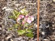 Helleborus survived the winter