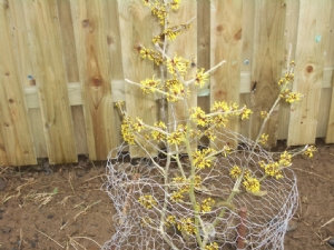 Witchhazel - with rabbit fence!