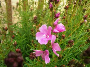Sidalcea - may be 'Party Girl'