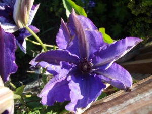 Which Clematis?