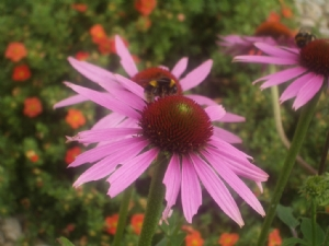 Echinacea and Bees