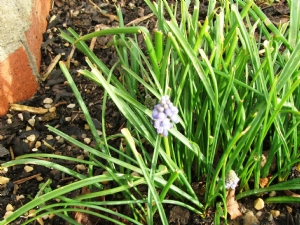 First of the Grape Hyacinths