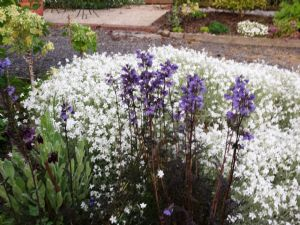 Cerastium and Jacobs Ladder