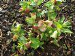 Helleborus orientalis 'Red Hybrids'