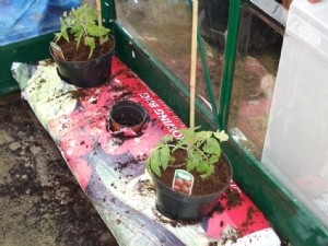 Tomatoes in Growbags