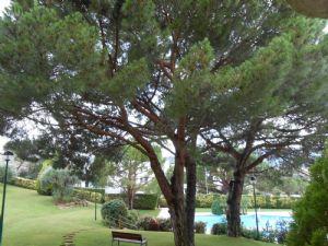 Pinus Pinea - I think!