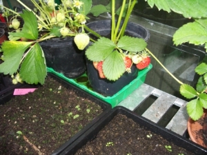 Strawberries & Struggling seeds...
