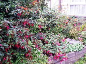 Fuchsia Paradise