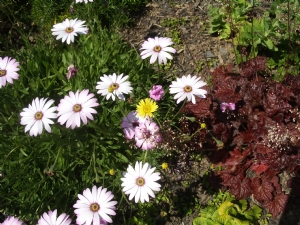 Anthemis seedling