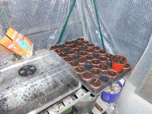 Primula potted and the propagator has Lavender