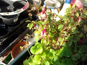 Brave little Fuschia