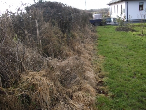 Ancient hedgerow in need of attention